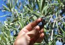 Olive Picking: From The Tree To The Factory